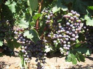 A vineyard in Napa Valley